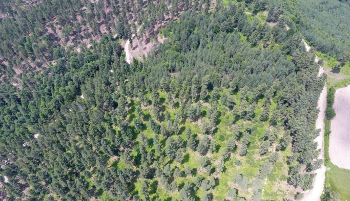 Kastamonu ve Sinop ormanları gençleşiyor