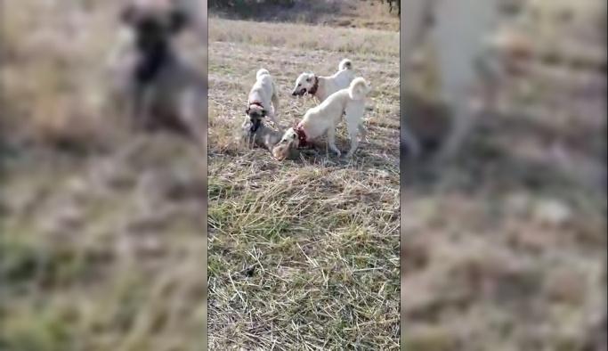 Koyun sürüsüne saldıran kurdu çoban köpekleri yakaladı