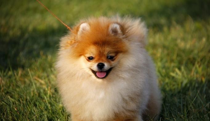 Irklarında en iyi köpekler belirlendi