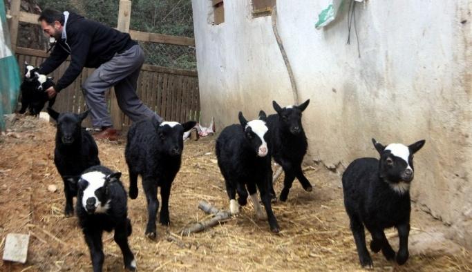 Kuzulara, ineklere de e reçete geliyor