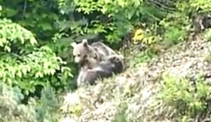 Yavru ayıların oyunu vatandaşın kadrajına takıldı
