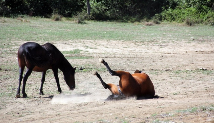 Yılkı Atları güneşli havanın tadını çıkardı