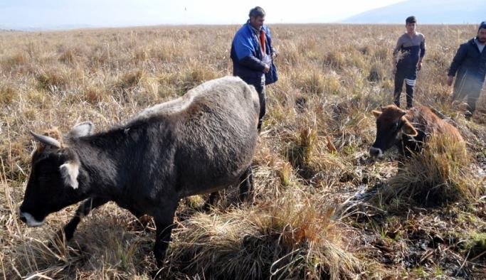 Bataklıkta mahsur kalan büyükbaş hayvanlar