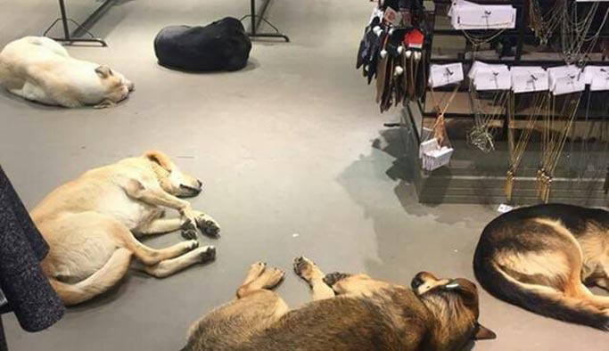 İçimizi ısıtan bir haber: Giyim mağazası üşüyen köpekleri içeri aldı