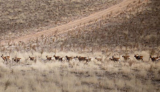 Konya'daki yaban koyunlarının sayısı tespit edildi