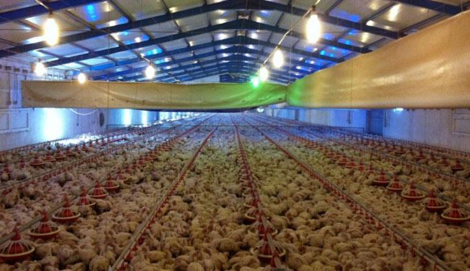 Tüm sermayesi 3 tavuktu şimdi tesisinde 3 bin tavuk var