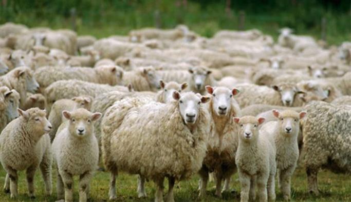 '300 koyun projesi'nde başvurular başladı