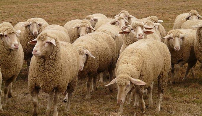 300 koyun ve maaşta yeni detaylar belli oldu