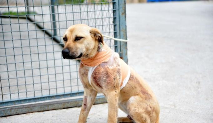 Antalya'da sokak köpeği kesici aletle boynundan yaralandı