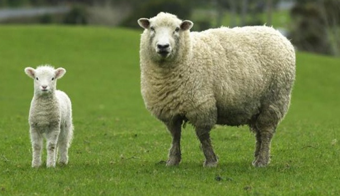 300 koyun projesinde dağıtımlar Nisan'da