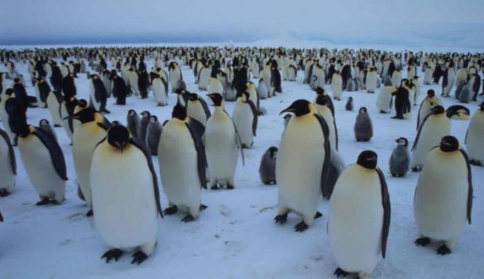 Bir buçuk milyonluk penguen sürüsü keşfedildi