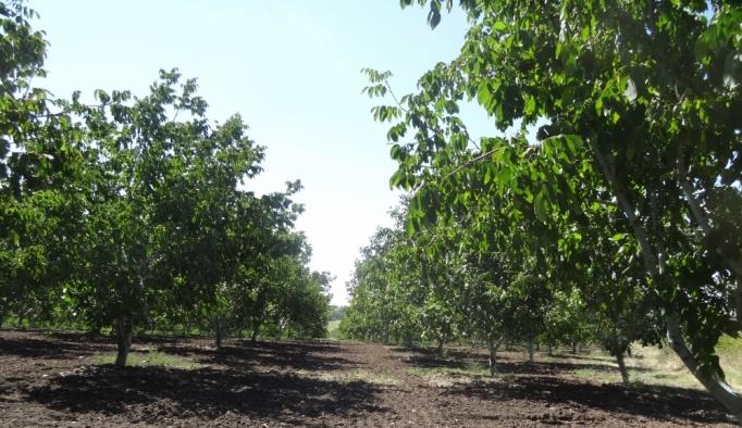 Bozuk ormanlara dikilen cevizler meyvesini verdi