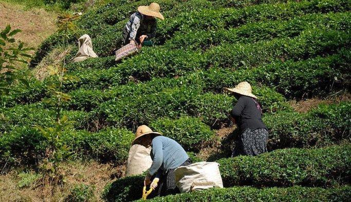 Çay çiftçisinin beklediği tarih belli oldu