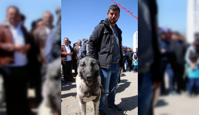 Sivas'ta Kangal köpekleri yarıştı
