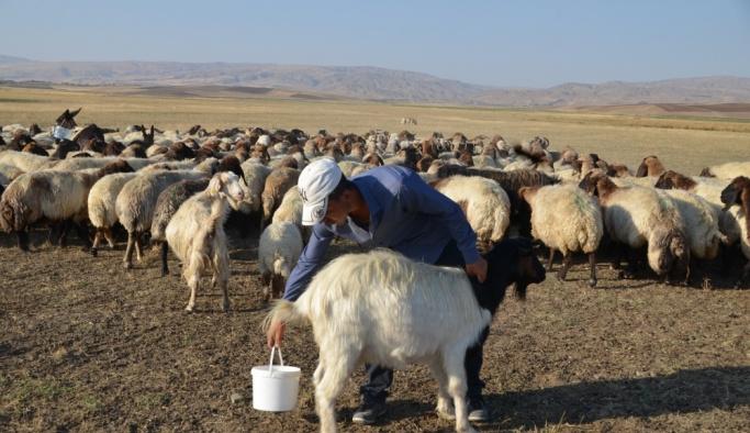Annesi ölen tayı keçi sütü ile besliyor