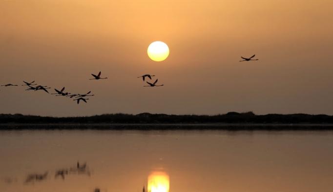 Tunus sahillerinde pembe flamingoların dansı