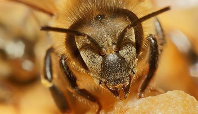 Arı saldırısı öldürdü