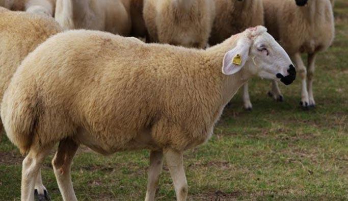 Rüyada koyun görmek ne anlama gelir?