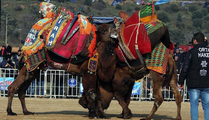 Deve güreşi festivalinden renkli görüntüler