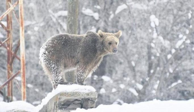 Ayıların dengesi bozuldu, bu kış uyumadılar