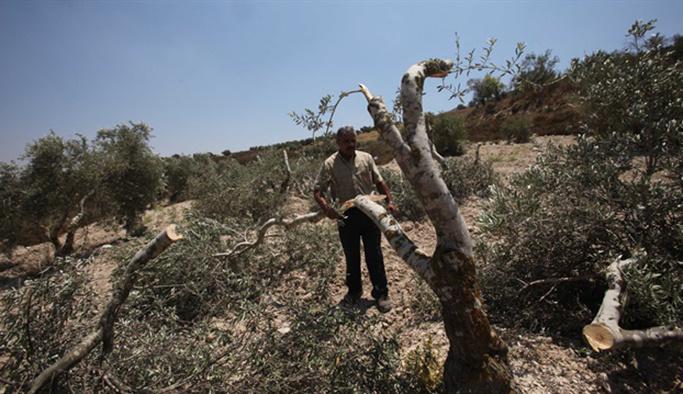 Yahudi sivil işgalciler Filistinlilerin zeytin ağaçlarını kesti