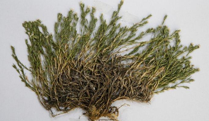 Afyon'da keşfedilen bitkiye Aziz Sancar ismi verildi