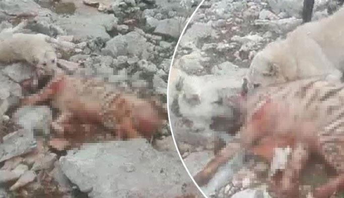 Çoban köpekleri nesli tükenen sırtlanı parçaladı