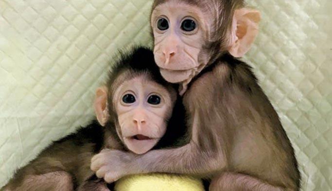 Maymuna insan beyninden genler aktarıldı