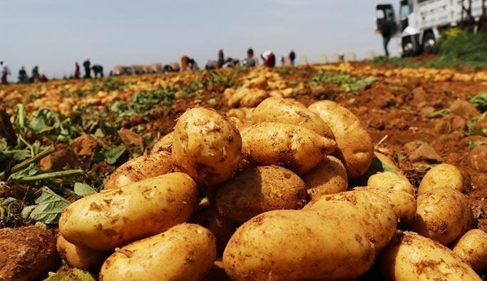 Soğan-patates fırsatçılarına kötü haber, hasat başladı