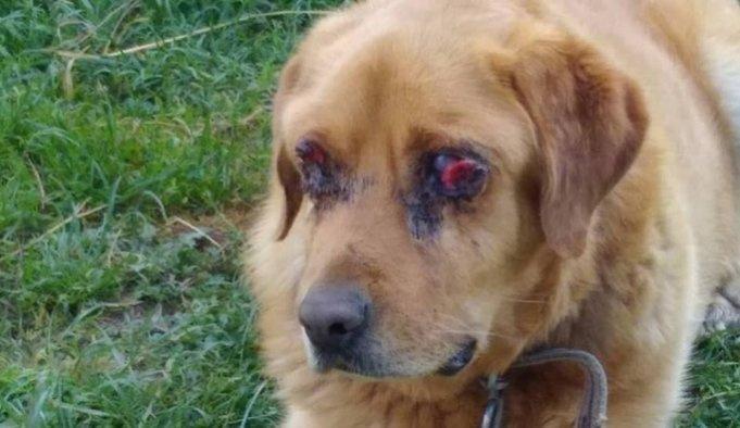 Caniliğin böylesi: Köpeğin gözlerini oydular