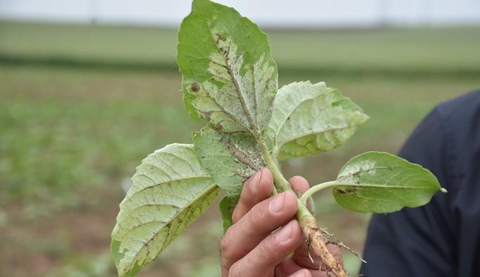 Çiftçiyi tedirgin eden ayçiçeği hastalığı, hızla yayılıyor