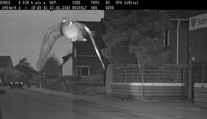 Hız sınırını aşan güvercine ceza: Ne zaman öder bilemiyoruz