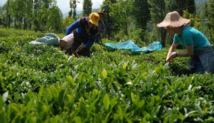Çiftçiye müjde: Yaş çay alım fiyatı yüzde 20 artırıldı