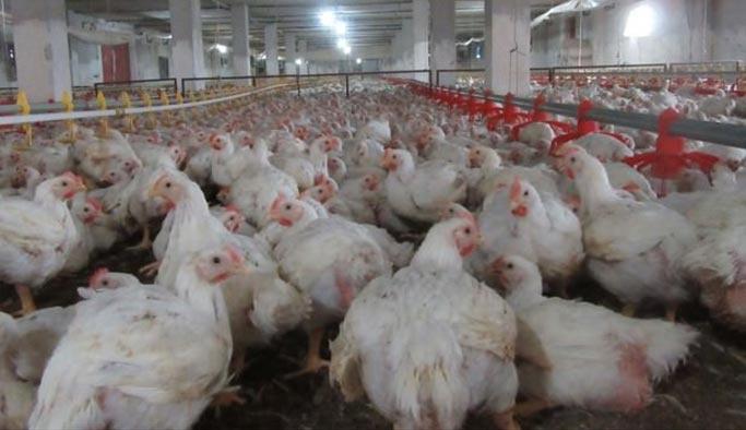 Türkiye, Çin'e tavuk yedirmeye başladı