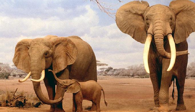 Afrika fillerinin hayvanat bahçelerine getirilmesi yasaklandı