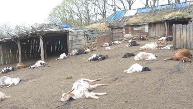 Cinnet getiren besici 239 keçiyi telef etti