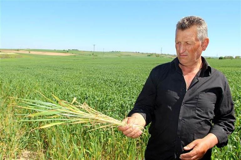 Trakya'da çiftçiyi tedirgin eden buğday hastalığı