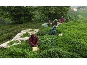 Çay tarlaları kaçak işçilere kaldı
