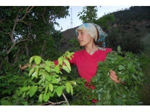 Dağ bitkileri hem şifa hem besin kaynağı