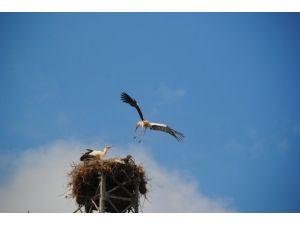 Belenobası'nın misafiri leylekler yavrularını uçurmaya başladı
