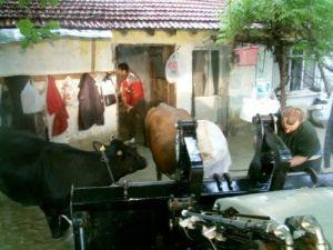 Taraklı'da dere taştı, hayvanlar iş makinesiyle kurtarıldı