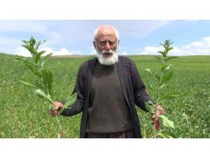 Yozgat'ta bu yıl 50 bin dekar alanda aspir hasadı yapılacak