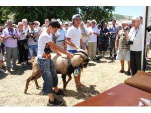 İzmir Karaburun'da kırkım şenliği düzenlenecek