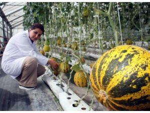 ÇÜ'de susuz domates ve kavun yetiştirildi