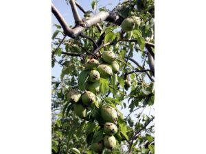 Son yağışlar meyvenin yanında zeytinde de döllenme sorununa neden oldu