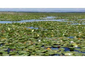 Nilüferlerin gölü Işıklı turizme açılıyor