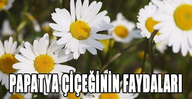 Papatya çiçeğinin faydaları