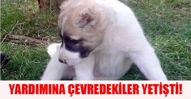 Yavru köpeğin kulaklarını bıçakla kestiler