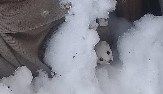 Beyaz Gelincik Tunceli'de görüntülendi